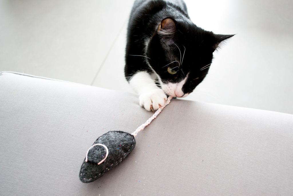 Souris-chat
