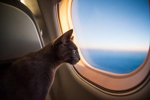 Prendre l'avion avec son chat