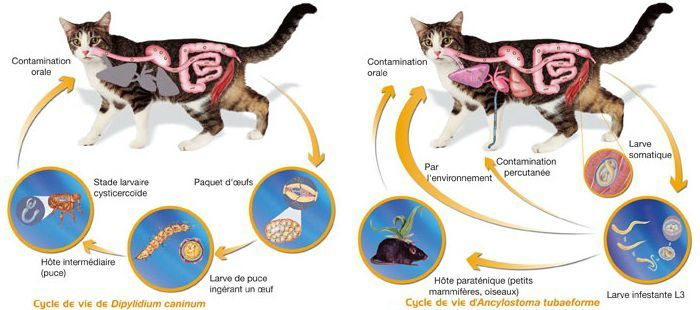 vermifuge chat explication