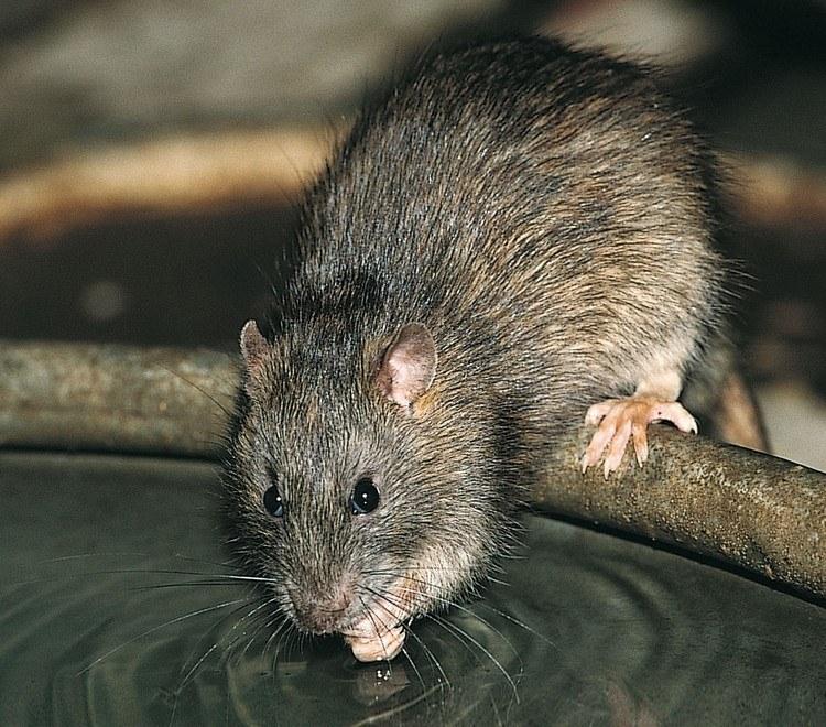Rat poulallier