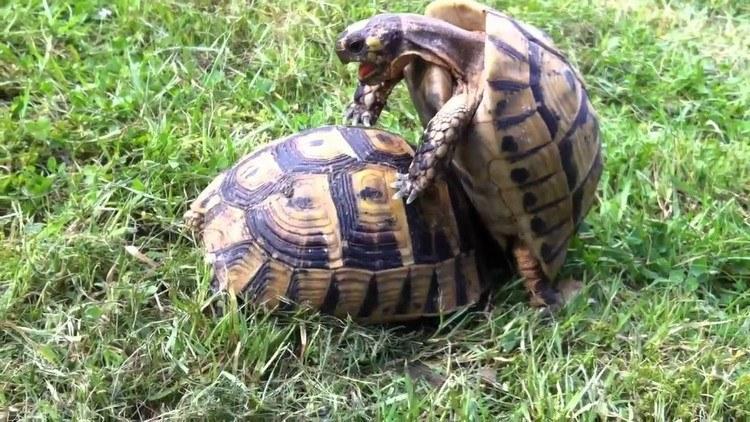 accoupler des tortue