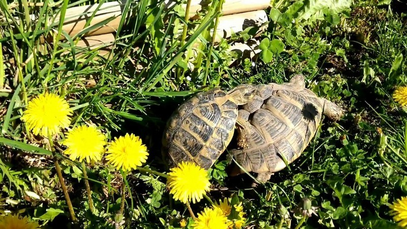accoupler tortue