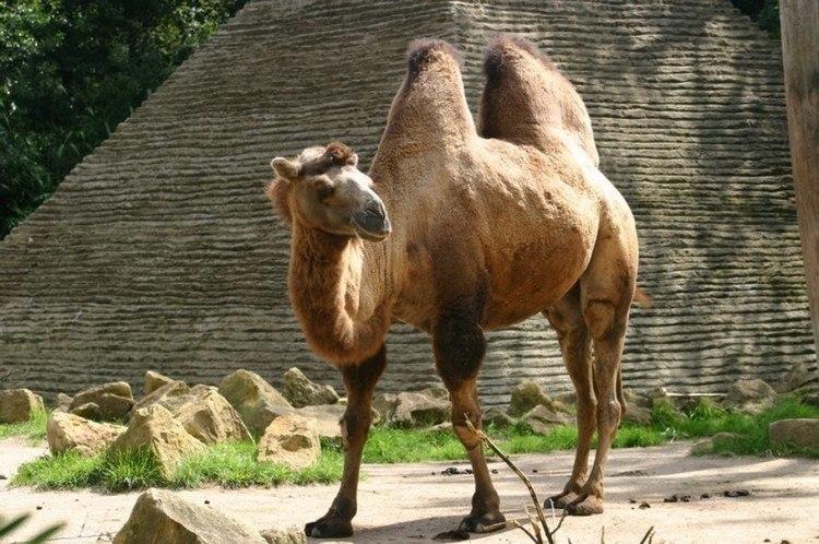 acheter chameau