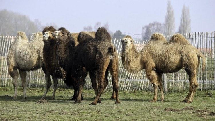 comment acheter un chameau