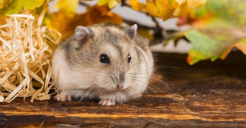 comment s'occuper d'un hamster