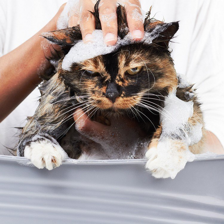 donner un bain a son chat