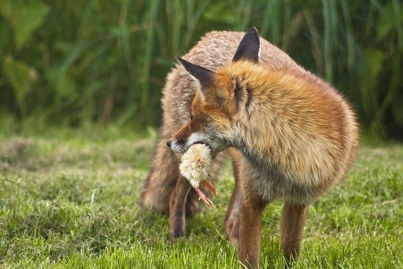 eloigner renard du poulailler