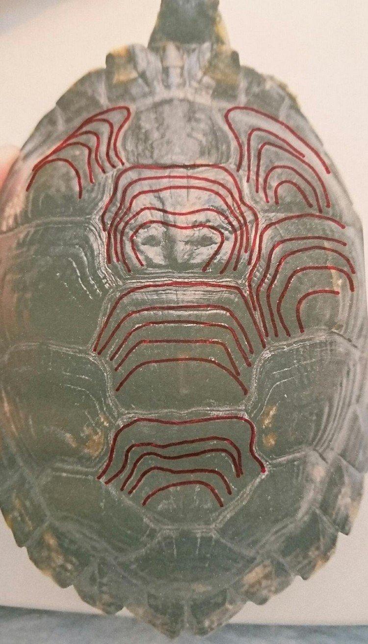 savoir l'age de ma tortue