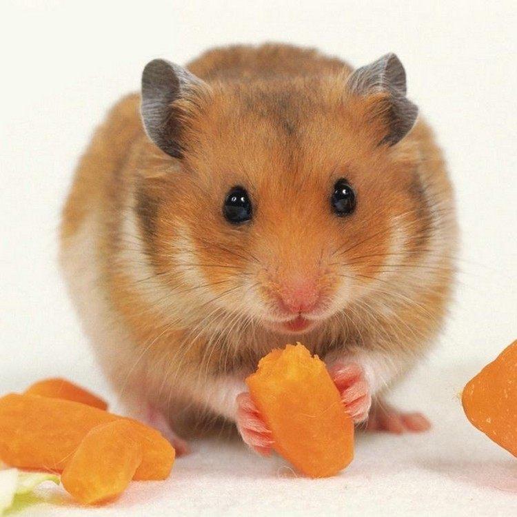 s'occuper d'un hamster