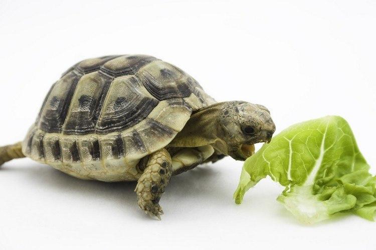 s'occuper d'une tortue