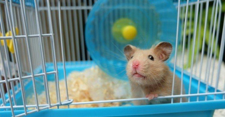 s'occuper hamster